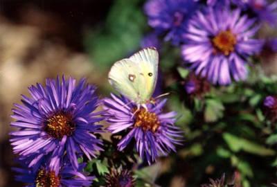 flower butterfly free